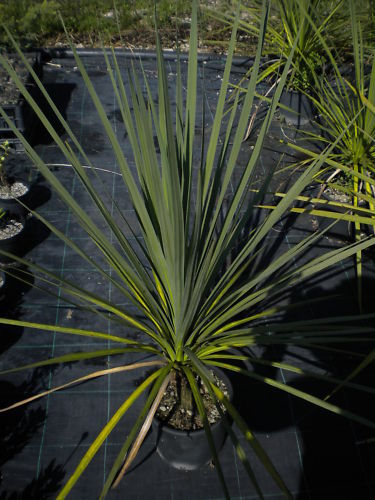 CORDYLINE AUSTRALIS Cabbage Tree Torquay palm succulent <b>vaso 18</b> altezza 50-60 cm